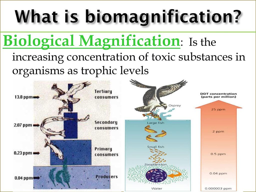 biomagnification is essentially the accumulation of a certain substance like a toxicchemical in the tissues of an organism as we move up the foodchain