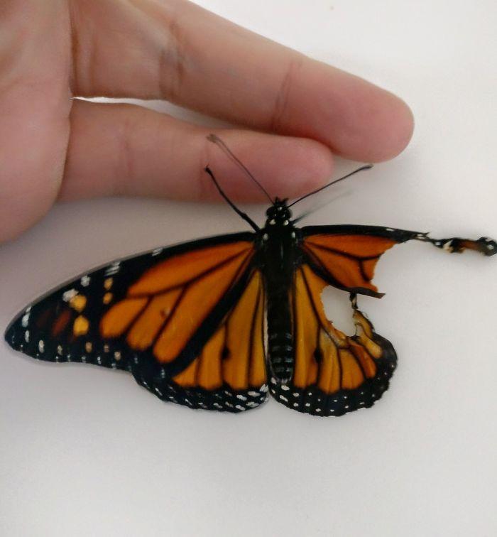 翼の一部が欠損した状態で羽化したオオカバマダラに、数日前に死んだ別のオオカバマダラの羽を移植、その後無事に飛び立ち自然に還った・・という、プロのコスチュームデザイナー兼刺繍マスターのRomy McCloskeyさんのお話。boredpanda.com/monarch-butter…