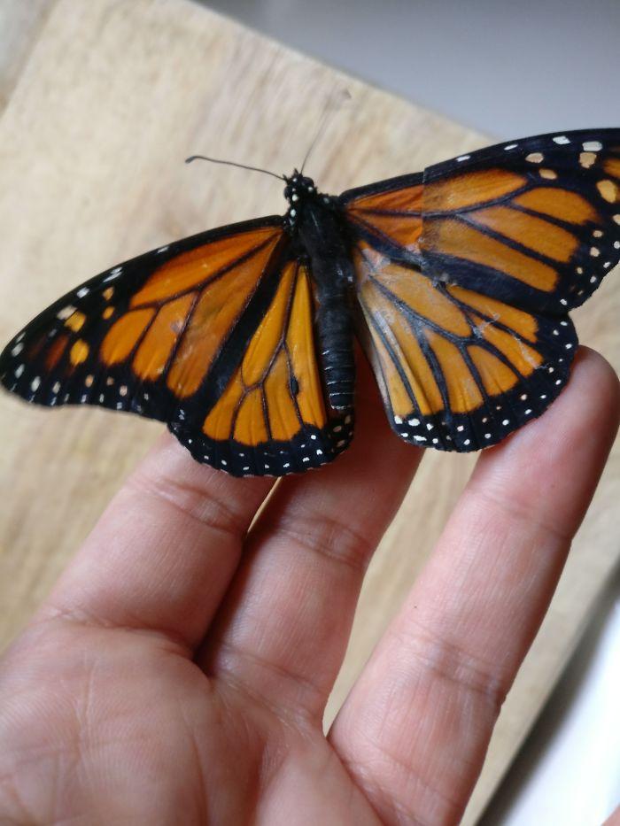 翼の一部が欠損した状態で羽化したオオカバマダラに、数日前に死んだ別のオオカバマダラの羽を移植、その後…