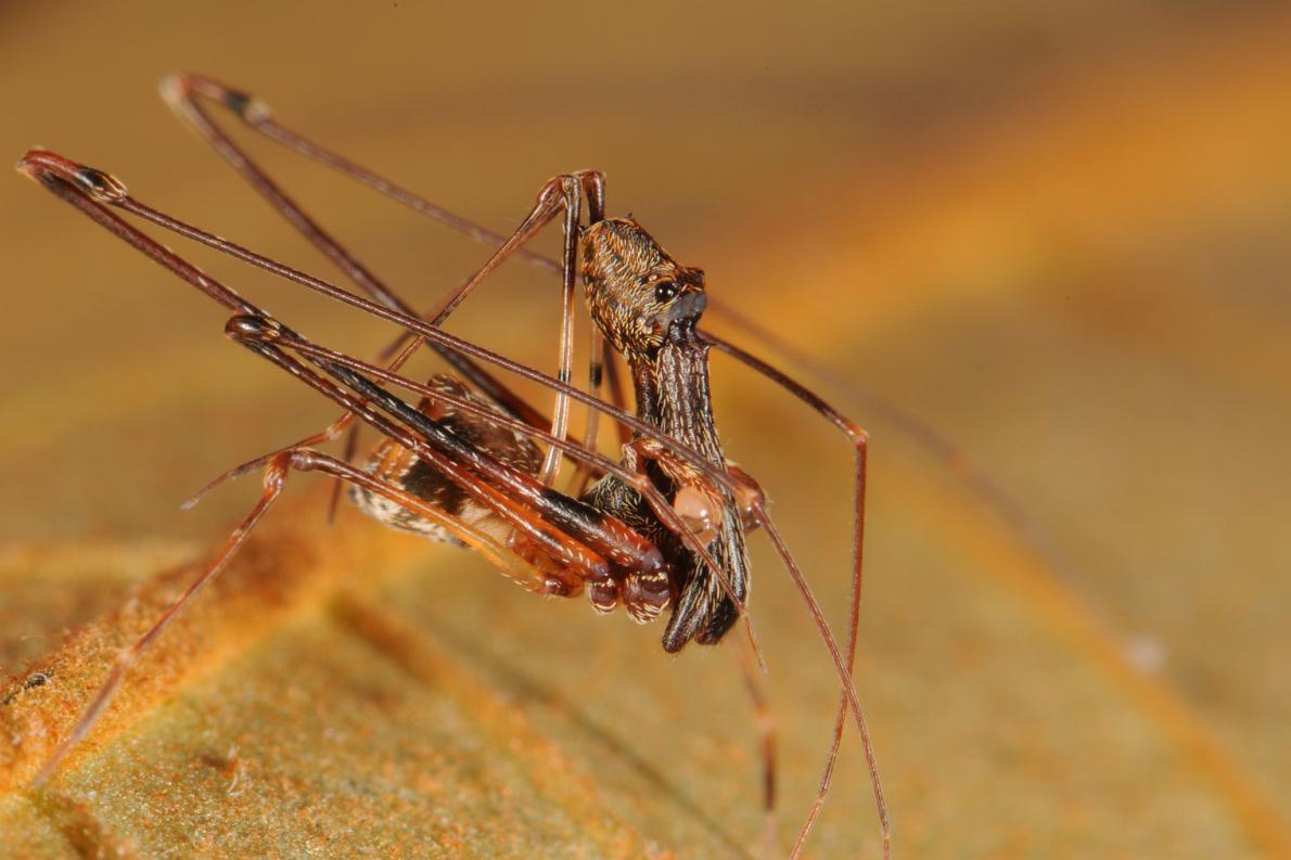 マダガスカルで新種のアサシンスパイダーを18種発見 news.nationalgeographic.…