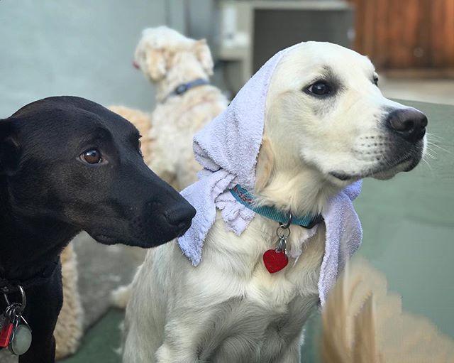 Georgie boy's towel fashion. . . #georgieboy #georgie #georgethedog #toweldog #towelstyle #doggydaycare #mountainview #bayareadog #californiadog #southbay #petsitters #petsittingtothemax #daycarelife #siliconvalleydog #labmix #labrador #whitedog #dogfash… http://bit.ly/2ECJbnEpic.twitter.com/4bWrIBQBVN