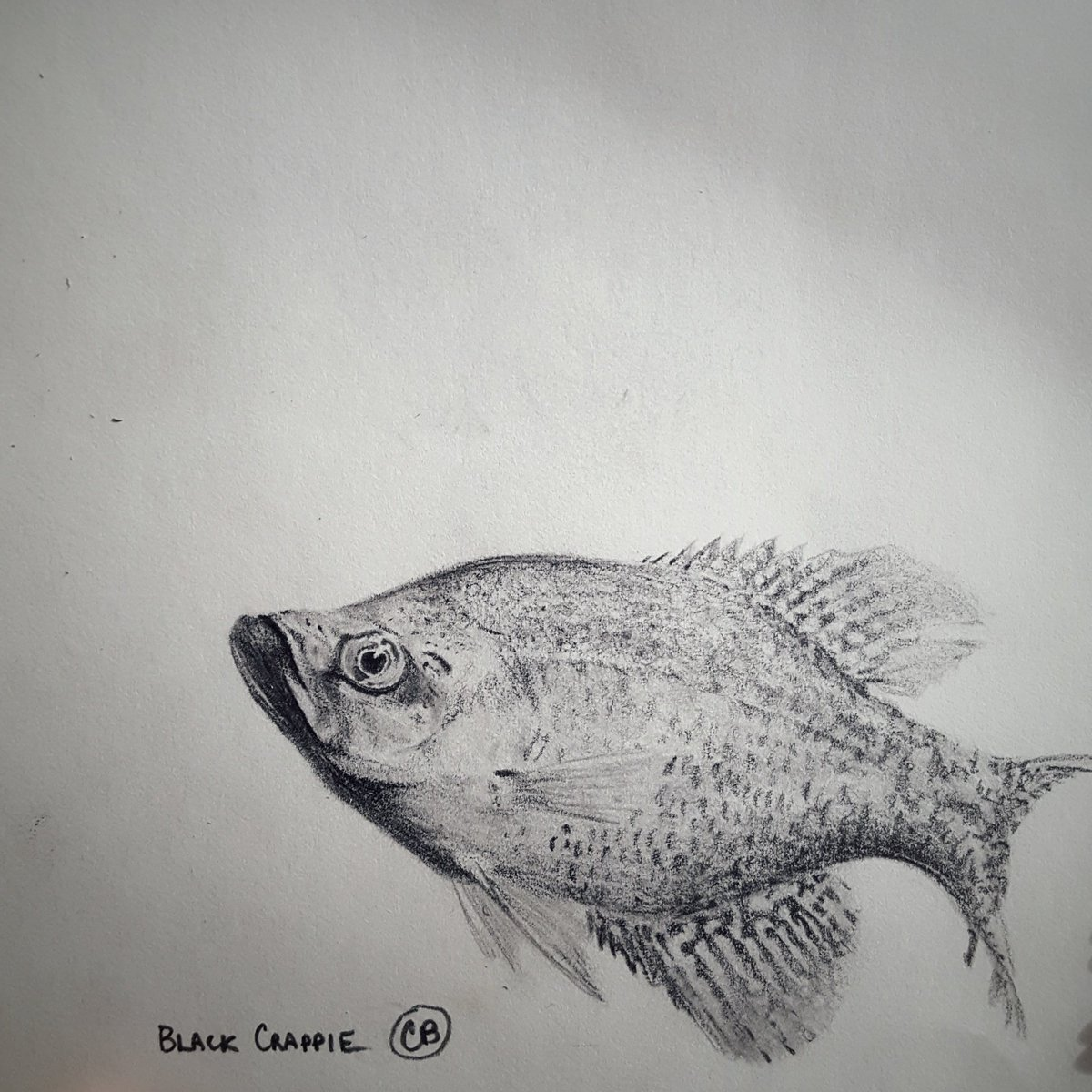 Here&#39;s hoping your week wasn&#39;t &#39;crappie.&#39; This #SundayFishSketch is one of my favorite panfish. Anyone catching any of these beauties lately? (graphite/sketchpad). #SciArt #fish<br>http://pic.twitter.com/iZGgJcxp2C