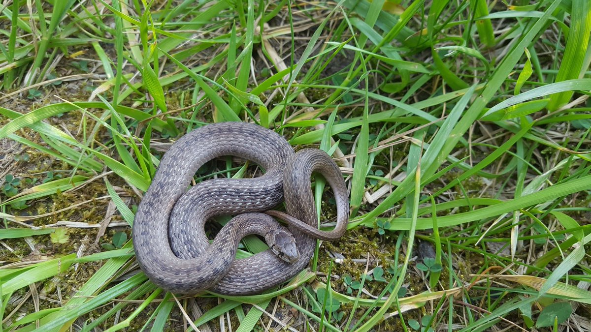 Go out looking for #salamanders and instead you find a #snake! #HERpers #Reptiles #Amphibians #MissingFieldworkSeason<br>http://pic.twitter.com/wcQ43EW2MA