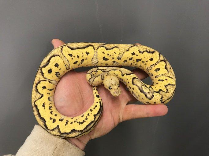 Firefly Clown Female Ball Python by J. Kobylka Reptiles, $2000 #pythons #pets #morph #herp #pet #reptiles #reptile  https://www. morphmarket.com/us/c/reptiles/ pythons/ball-pythons/99895?utm_source=twitter&amp;utm_medium=post&amp;utm_content=99895&amp;utm_campaign=twitter-featured-ad &nbsp; … <br>http://pic.twitter.com/zKb43SzDN5