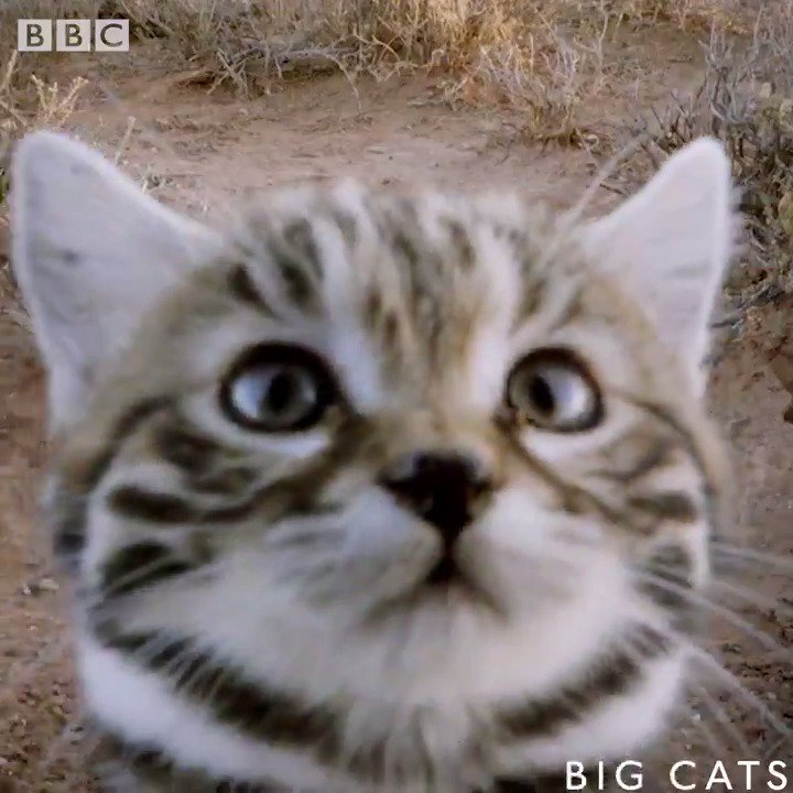 RT @BBCOne: This is the world's DEADLIEST cat. Seriously. Look at her. 😍  https://t.co/U2WHDx0Avd