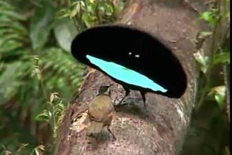 カタカケフウチョウという鳥がどうなってんのか良くわかんなくて、画像検索したんだけど、良くわかんないから笑ってる
