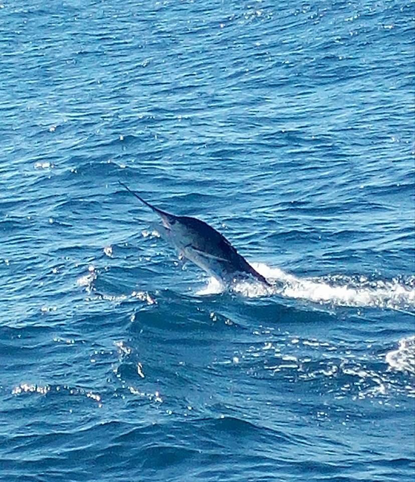 Cabo, MX - El Torito released a Striped Marlin.