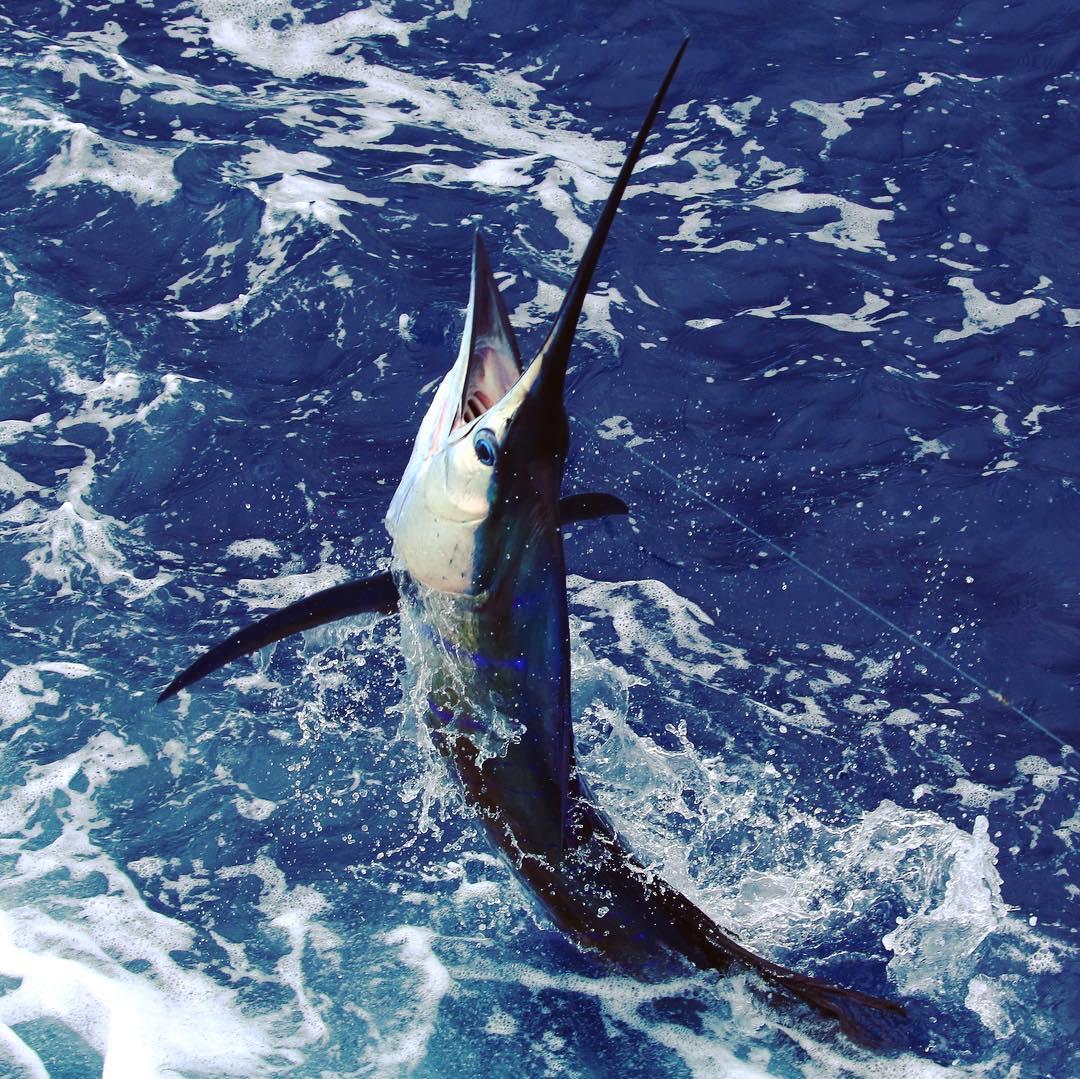 Los Suenos, CR - Fish Tank released 5 Sailfish.