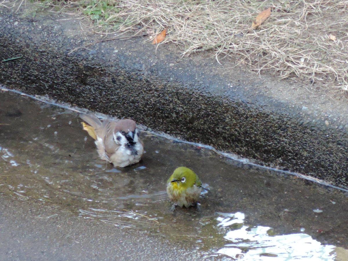 スズメさんとメジロさんの混浴。