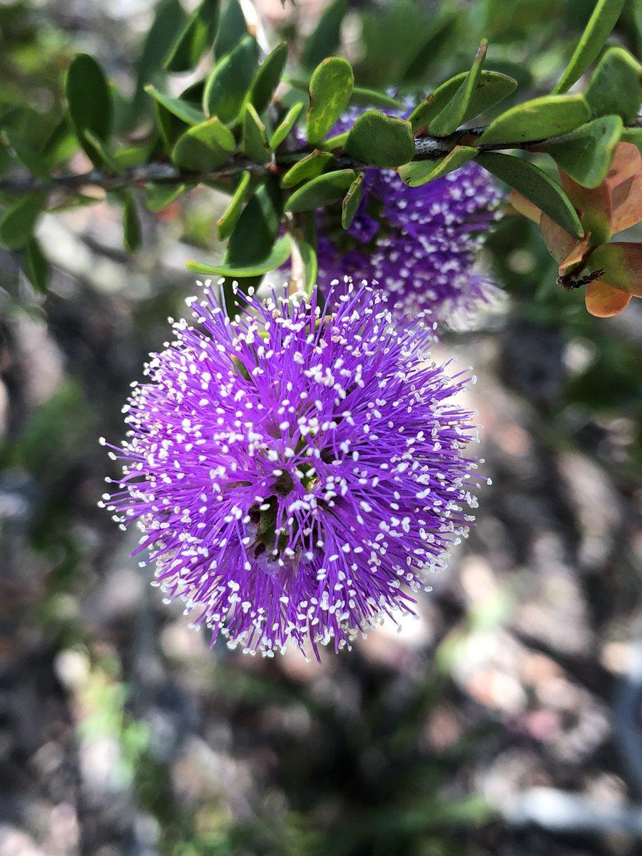 Dr Dale Dixon On Twitter Melaleuca Nesophila Myrtaceae Showy