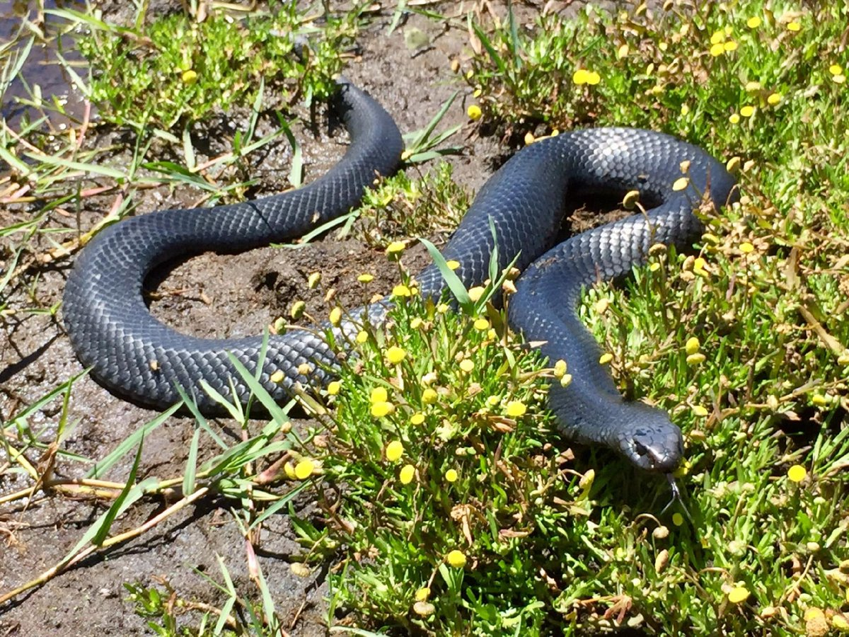It&#39;s snake season - snr #zoologist Dan snapped this Red-bellied Black Snake (Pseudechis porphyriacus) hunting for frogs near Sale. These guys have a bit of a bad rep, but they are actually pretty shy and non-confrontational. #snakesofOz #WildOz #reptiles #herpetology<br>http://pic.twitter.com/CVRaj25Xeu