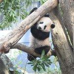 ジャイアントパンダ「シャンシャン」の近況をアップしました! 最近は屋外運動場(2/1から公開予定)で…