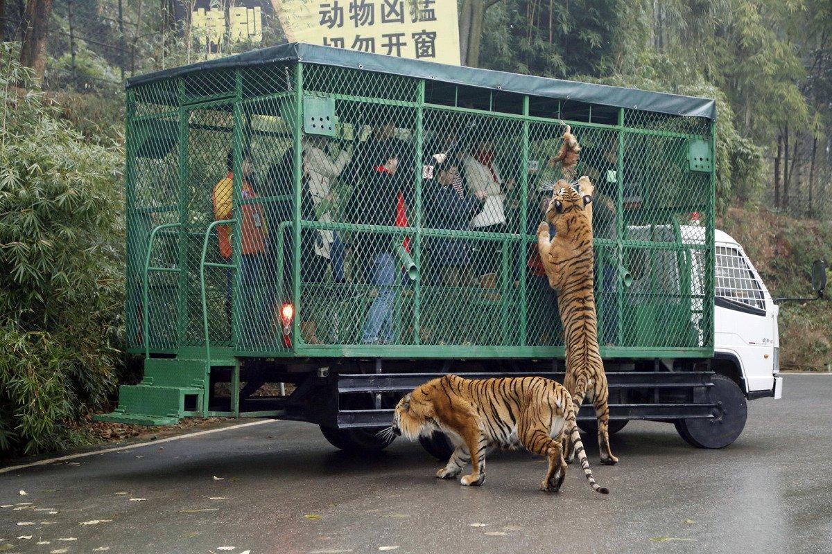 https://www.demorgen.be/buitenland/omgekeerde-wereld-in-chinese-zoo-mensen-in-een-kooi-leeuwen-en-tijgers-lopen-vrij-rond-b9f4f37d/
