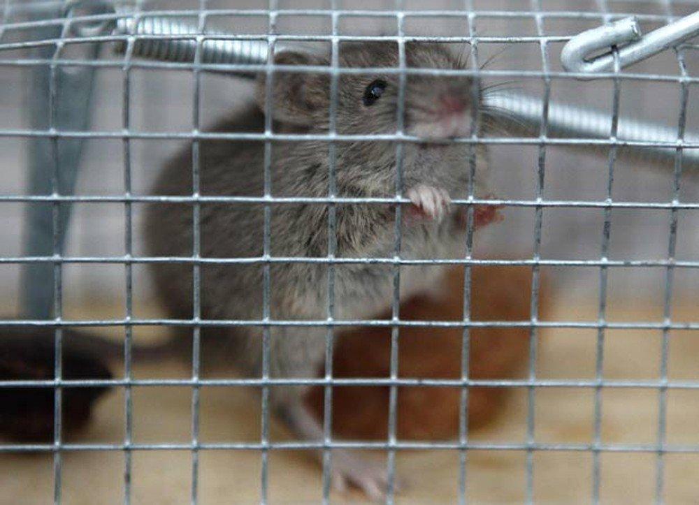 Os ratos são inocentes: pesquisa aponta que humanos espalharam a peste negra, epidemia mais mortal da história https://t.co/vO8oEJsIqQ #G1