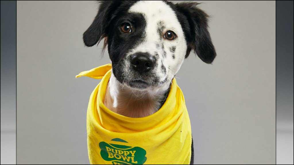 Local pooches competing in the Puppy Bowl https://t.co/Y12GP08t61