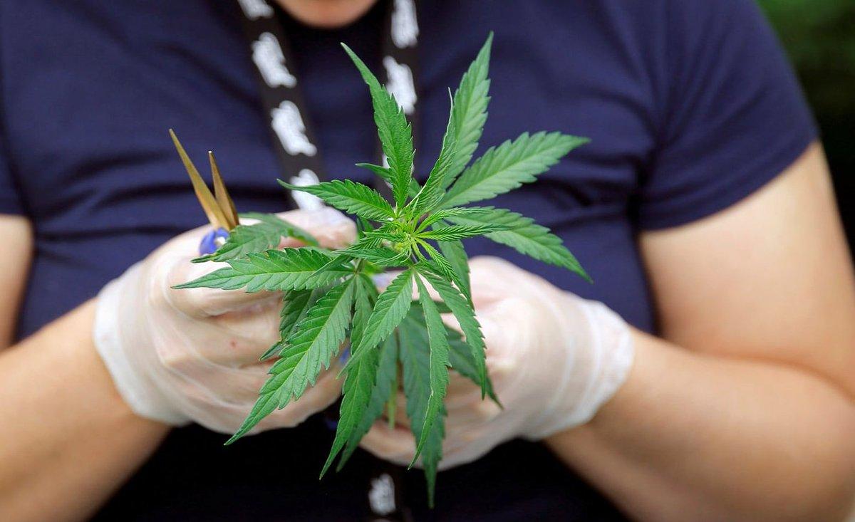 И то же и это марихуана конопля одно коноплей для скачать с обои стола рабочего
