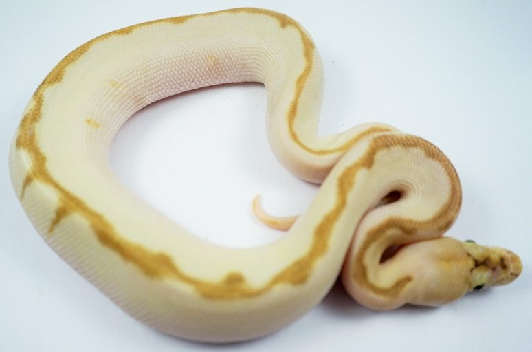 Enchi Lesser Bee Clown Male Ball Python by Royal ambassador reptiles, $2000 #ballpythons #herps #reptile #reptiles  https://www. morphmarket.com/us/c/reptiles/ pythons/ball-pythons/96169?utm_source=twitter&amp;utm_medium=post&amp;utm_content=96169&amp;utm_campaign=twitter-featured-ad &nbsp; … <br>http://pic.twitter.com/jcCyc5pNyC