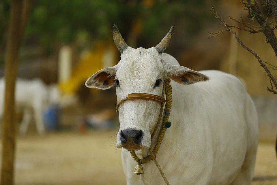 'Terapia da vaca', a nova iniciativa para presos na Índia https://t.co/bAVrBFFviY