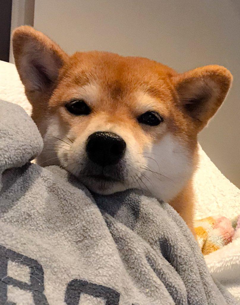 帰りたい(T_T) #柴犬