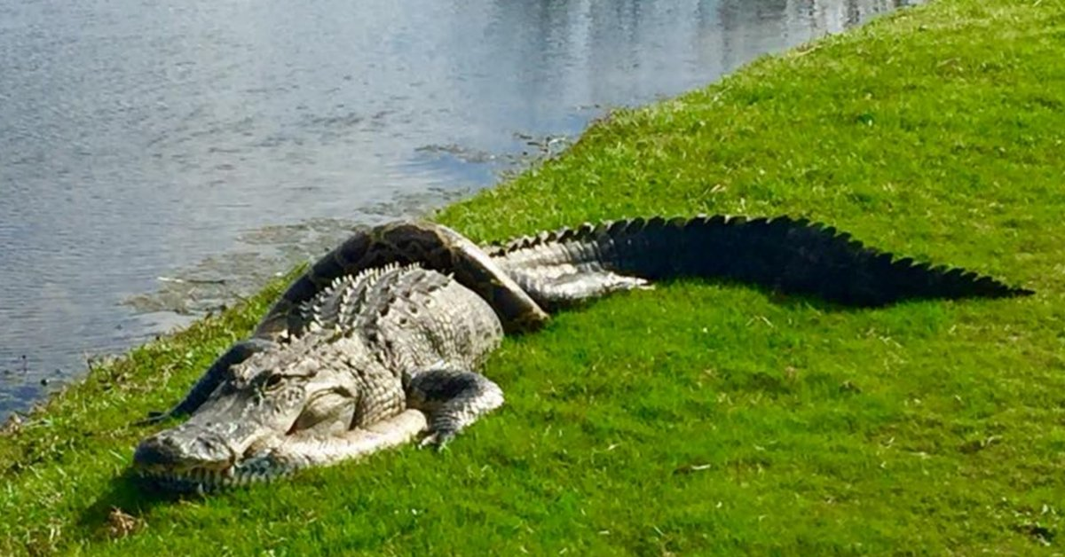 Golf Digest On Twitter Giant Alligator And Large Python Tangle On A Florida Golf Course Https T Co Giuvg6isaw