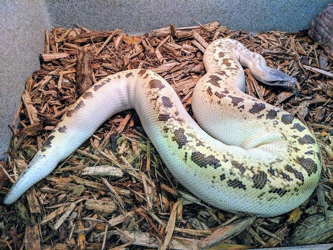 Ivory Male Blood Python by The Jungle Florida, $500 #snake #herp #morph #morphs #herps #pets #pet #reptiles  https://www. morphmarket.com/us/c/reptiles/ pythons/blood-pythons/112756?utm_source=twitter&amp;utm_medium=post&amp;utm_content=112756&amp;utm_campaign=twitter-featured-ad &nbsp; … <br>http://pic.twitter.com/KLKuZ5la9e