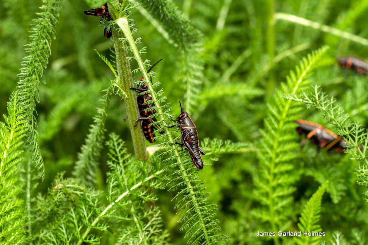 Harris County Master Gardeners On Twitter Black Grasshopper Red