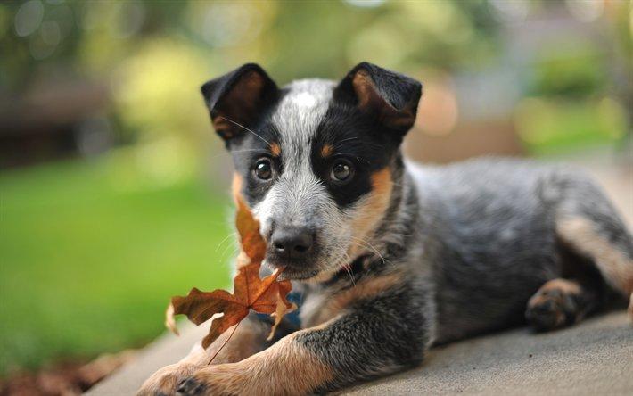 Image result for 犬  heeler