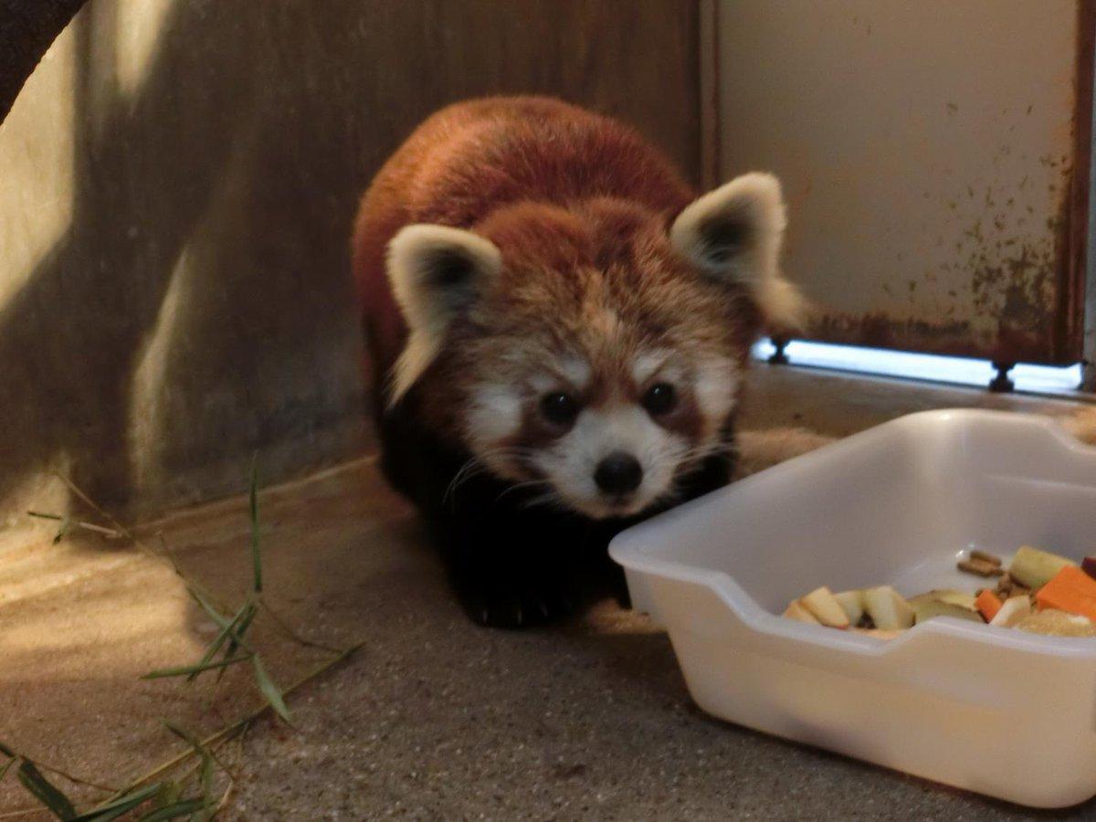 レッサーパンダが雌雄1頭ずつ千葉市動物公園と日本平動物園からやってきました!詳細はHPをご覧ください。 city.hitachi.lg.jp/zoo/003/p06550…