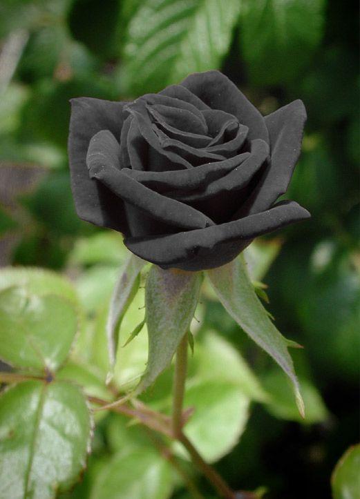 ورود سوداء اللون