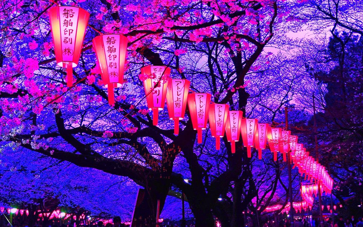 Nomed613 On Twitter Yozakura At Night Beautiful Cherry Blossom