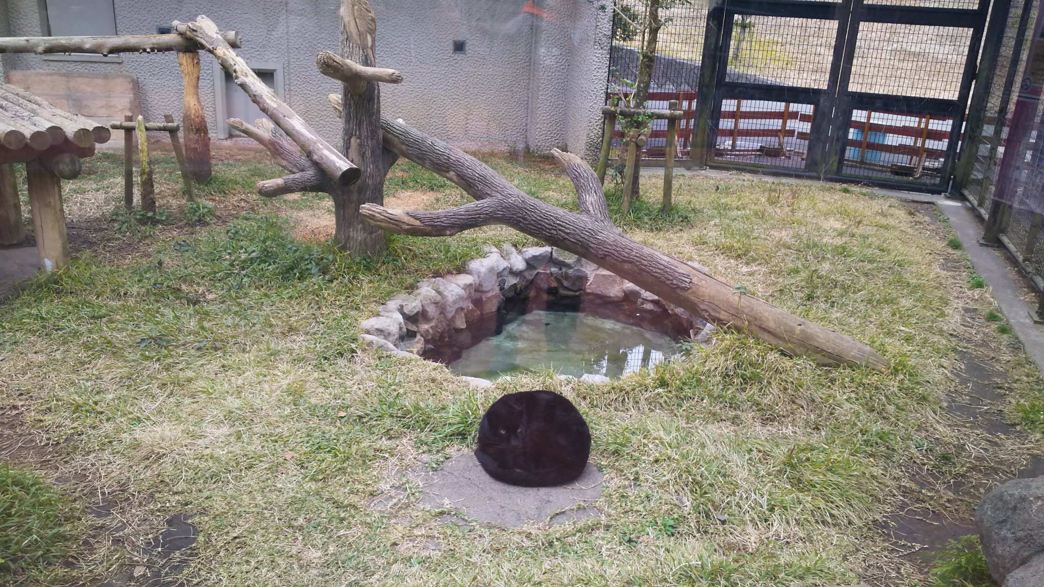 よく冷え込んだ朝、獣舎の池の前で丸くて黒い物体を発見しました。よ~く見るとそれはヒーターの入った石の上で丸くなったクロヒョウのスーの姿でした★