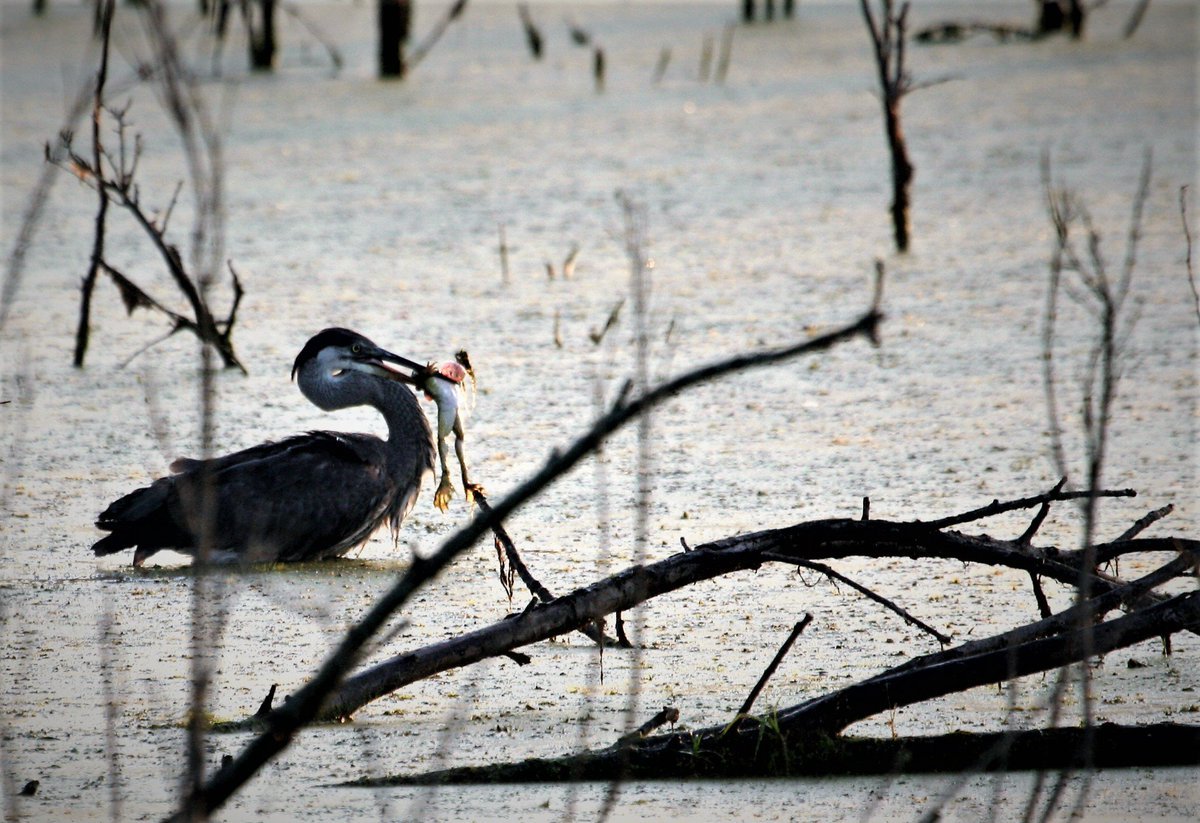 Great blue heron standing in murky wetlands behind bare tree limb sticking out of the water. The heron has a bullfrog hanging from their mouth. The bullfrog's legs are dangling from the heron's beak.