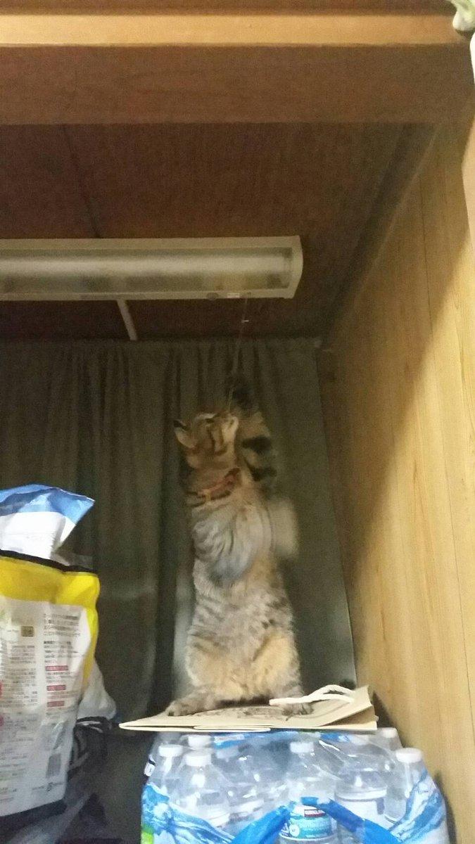 最近納戸の電気が勝手についたり消えたりしてて「やだなあなんでだろ…」と思っていたら、ついに…見てしまった…猫、お前だったのか…