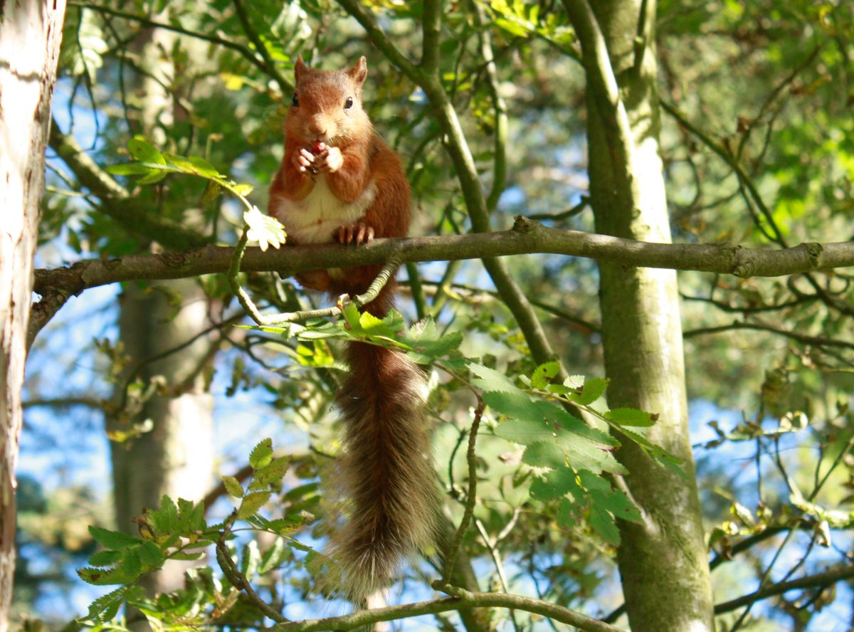 It's #SquirrelAppreciationDay! Red squirrels are among our best loved #woodland animals, but they've been in decline for decades. Find out why and how you can help at https://t.co/oMJXXXgend