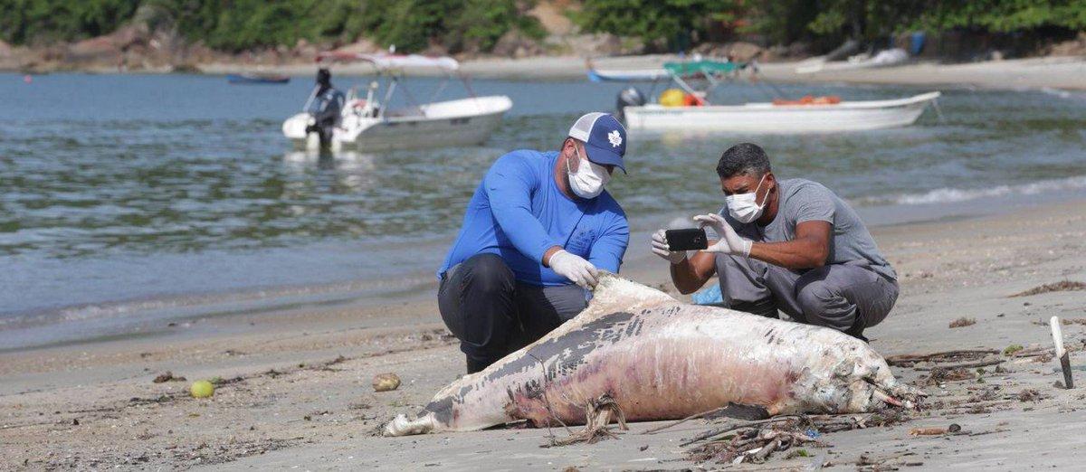 Doença que se espalha nas águas poluídas de Sepetiba pode dizimar centenas de botos: https://t.co/dpGPLgoVQL