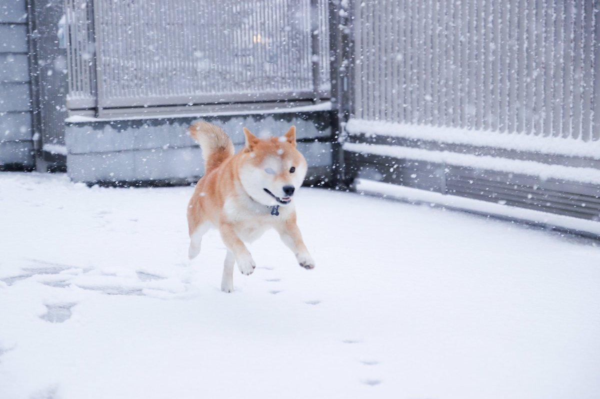 犬は喜び庭かけまわる  とはもうこのこと。  #柴犬 #80D #雪