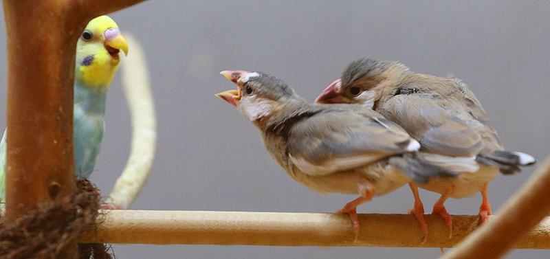 ことり日和、福山に小鳥カフェ!インコたちと触れ …