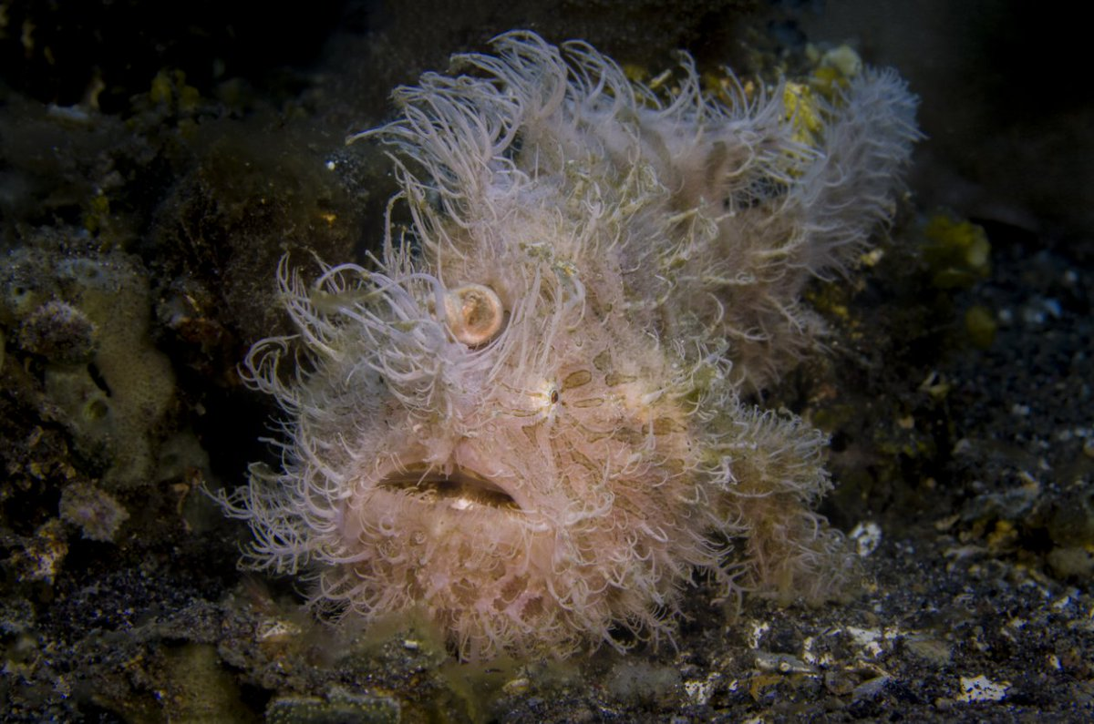 RT @Oceana: Think your hair is crazy in the morning? This hairy frogfish has major #bedhead. https://t.co/NIulxElokZ