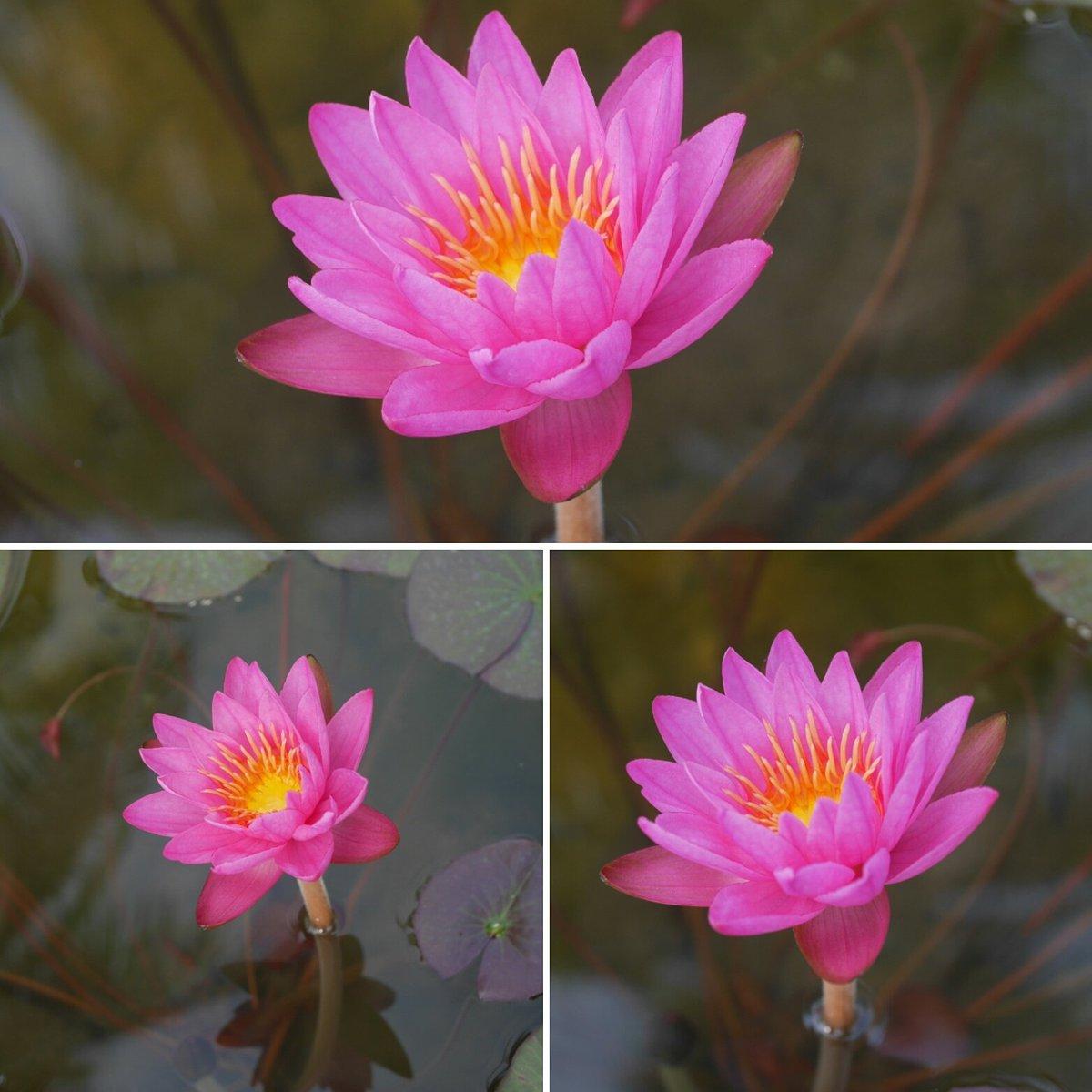 Waterlilies thailand on twitter hxt intersubgeneric waterlily homeandgarden thai waterlily wahgarden lotusflower lotos pondoflilies naturepicitterkgiic1wic5 izmirmasajfo