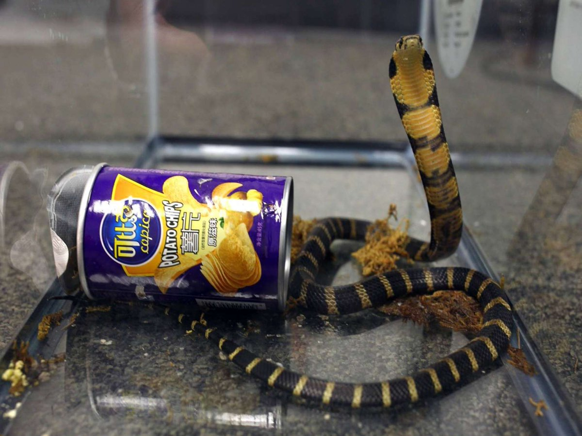 A California man was sentenced to five months in federal prison for smuggling king cobra snakes through the mail in potato chip cans https://t.co/zhzUWlwL87