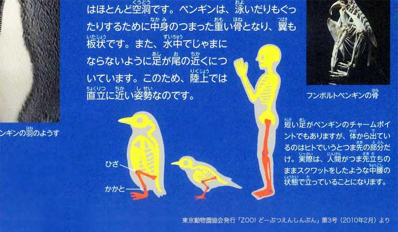 「雪道はペンギンのように歩きましょう」とのことですが、ではここで、ペンギンの足の構造を見てみましょう。  _人人人人人人人人人人人人人_ > つま先立ちのままスクワット <  ̄^Y^Y^Y^Y^Y^Y^Y^Y^Y^Y^Y^ ̄  ※東京動物園協会発行「ZOO! どーぶつえんしんぶん」第3号より