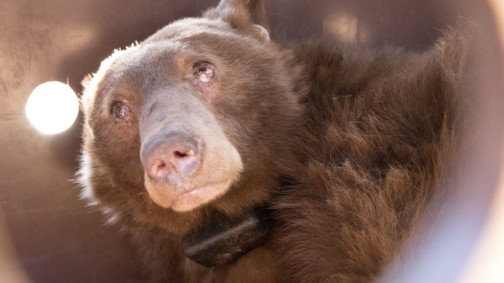 Two bears that were badly burned in the #ThomasFire are now back on their paws. STORY: https://t.co/bXcc1ECT9C