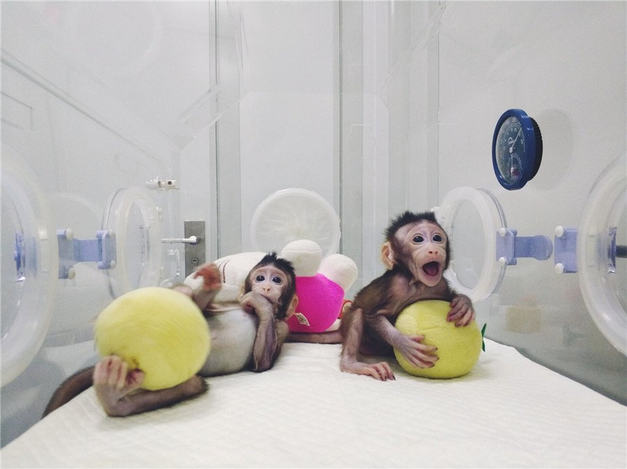 #BREAKING: China successfully clones world's first macaques from somatic cells by method that made Dolly the sheep 20 years ago (Photos provided by Chinese Academy of Sciences)