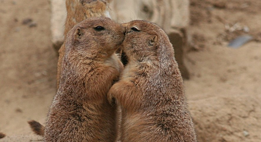 Quite interesting on twitter prairie dogs greet each other with 200 pm 24 jan 2018 m4hsunfo