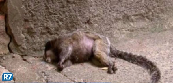 Febre amarela: macacos mortos no Rio vão passar por necrópsia  https://t.co/H9sUr2ymH6