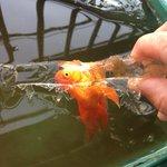 あまりの冷たさで?水が凍った結果金魚も凍り付いてしまう!