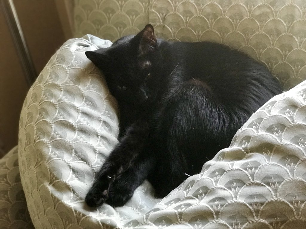 Mookie the black Cat curled up on the pillow of the chaise lounge.
