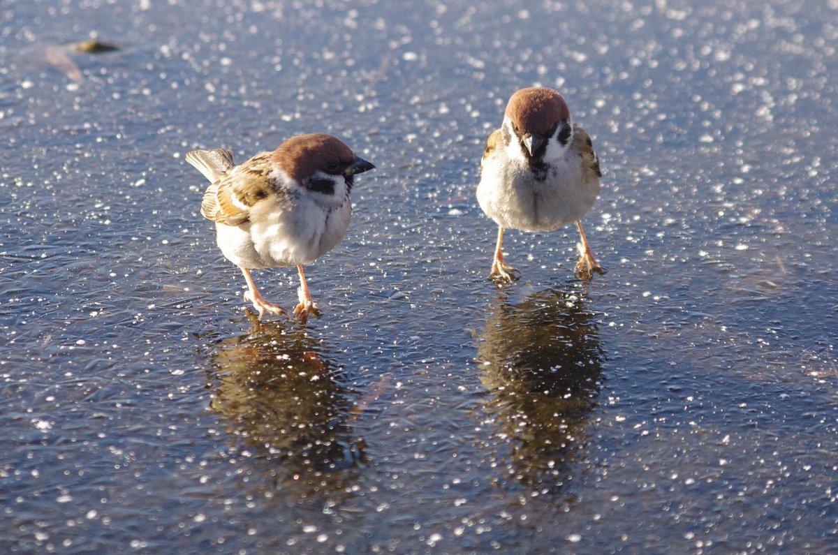 氷の上で遊ぶすずめwwもしかしたら足が冷たい感覚を楽しんでいるのかもww