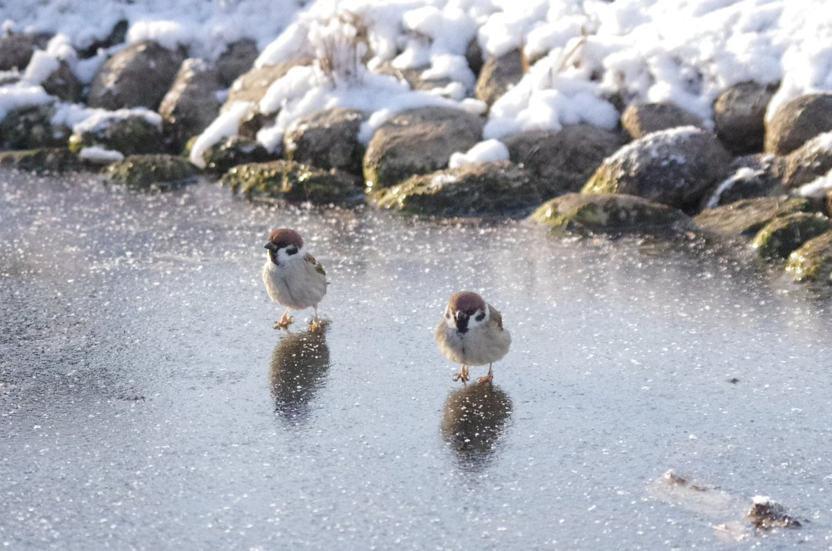 ①「なにこれ、いつもの川が歩けるよー」 ②「なんかツルツル滑って楽しいよこれ」 ③「最高!これ!」「待ってよー」 ④「こんな楽しいことはない!」「待ってたらー!」 #雀 #スズメ #すずめ #sparrow