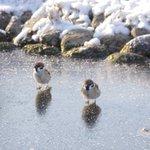 氷の上で遊ぶすずめもしかしたら足が冷たい感覚を楽しんでいるのかも